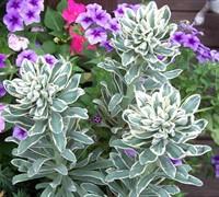 Glacier Blue Euphorbia Picture