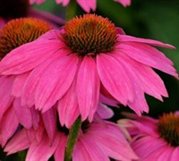 Pow Wow Wildberry Coneflower Picture