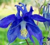 Blue Angel Columbine