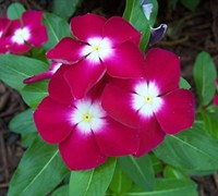 Pacifica Burgundy Halo Vinca Picture