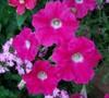 Rose Wave Petunia
