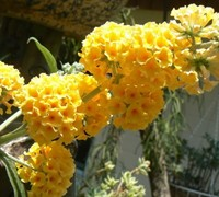 Honeycomb Butterfly Bush Picture