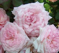 Sweet Drift Rose Picture