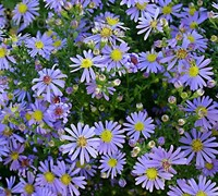 Blue Bird Aster Picture