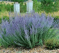 Blue Spire Russian Sage Picture