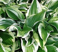Sundancer Hosta Picture