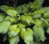 Guacomole Hosta