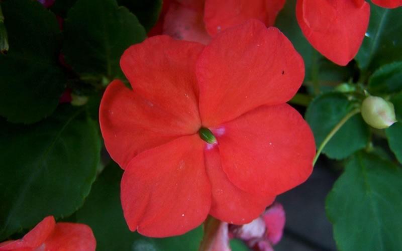 Super Elfin Orange Impatien Picture