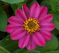 Profusion Cherry Zinnia Picture