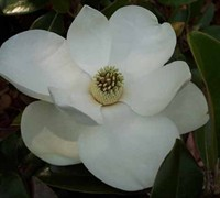 Claudia Wannamaker Magnolia Picture