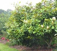 Baby Grand Magnolia Picture