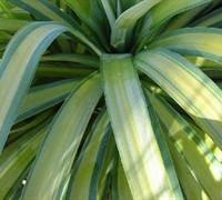 Banana Split Soft Leaf Yucca Picture