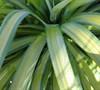 Banana Split Soft Leaf Yucca