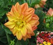 Figaro Mix Dahlia