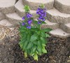 Cardinal Flower 'Fan Blue'