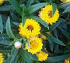 Sundaze Golden Yellow Strawflower Picture