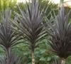 Bauers Dracaena Palm