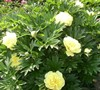 Bartzella Itoh Peony