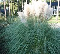 Dwarf Pampas Grass Picture