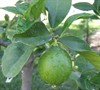 Bears Seedless Lime Tree