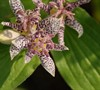 Tricyrtis Blue Wonder Toad Lily