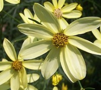 Moonbeam Coreopsis Picture