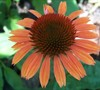 Sundown Coneflower