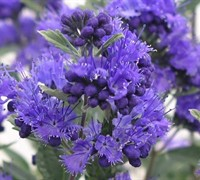 Dark Knight Caryopteris Picture