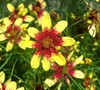 Route 66 Coreopsis