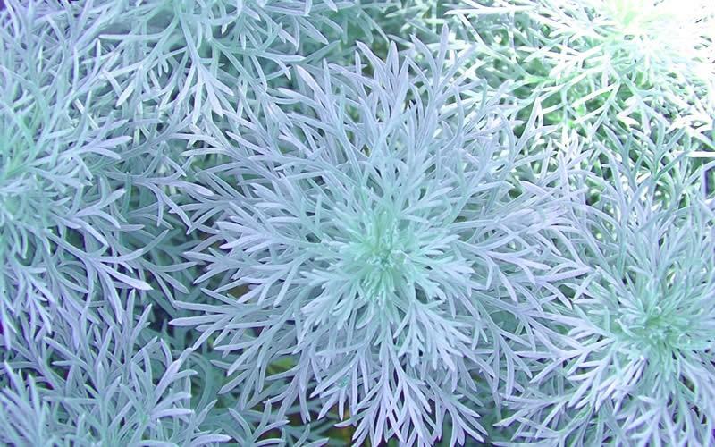 Silver Mound Artemisia Picture