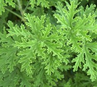 Lemon Scented Geranium Picture