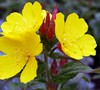 Sundrops Evening Primrose