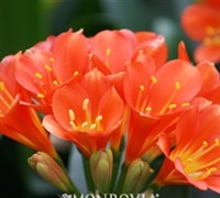 Belgian Hybrid Orange Lily Bush Picture