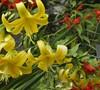 Belgian Hybrid Yellow Lily Bush