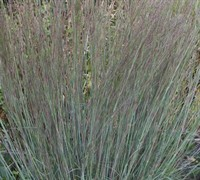 Prairie Bluestem Grass Picture