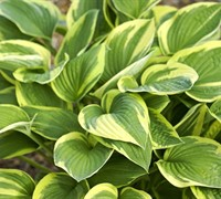Aureo Marginata Hosta Picture