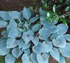 Blue Cadet Hosta