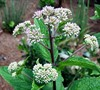 Little Joe Eupatorium Picture
