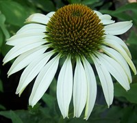 White Swan Coneflower Picture