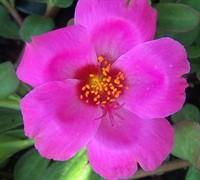 Pink Yubi Portulaca Picture