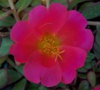 Rose Yubi Portulaca Picture