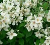 Bell Etoile Mock Orange
