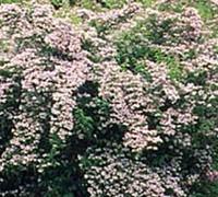 Beauty Bush Picture