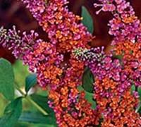 Bicolor Butterfly Bush Picture