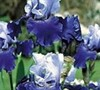 Best Bet Bearded Iris