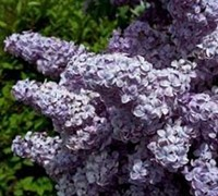 Big Blue Lilac Picture