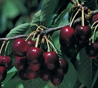 Bing Sweet Cherry Picture