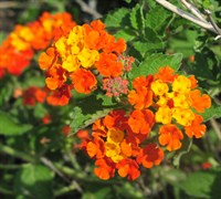 Tangerine Lantana Picture