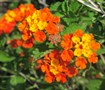 Tangerine Lantana