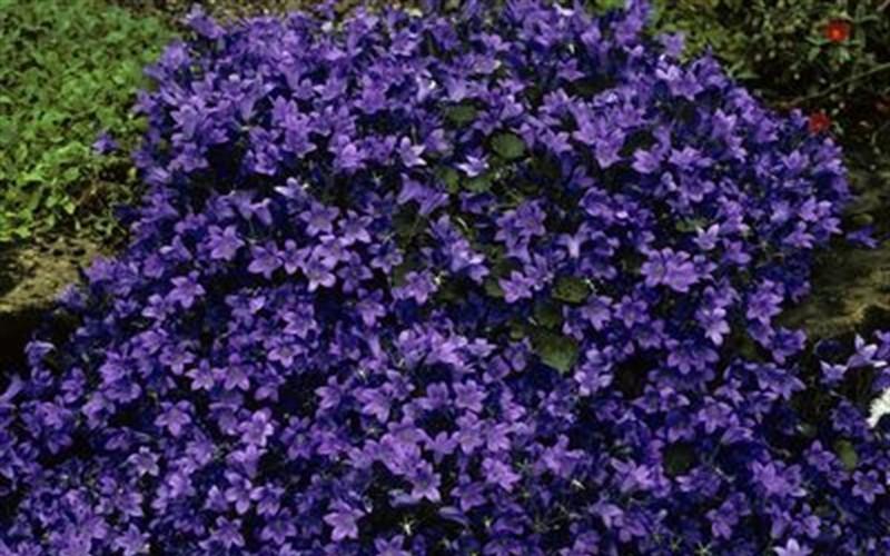 Birch Hybrid Bellflower Picture
